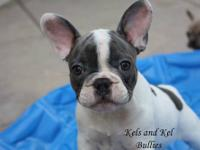 MOUSE! AKC French Bulldog. Carries tri (ay/at). Blue