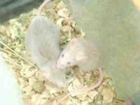 Mouse - Blueberry - Small - Adult - Female - Small &