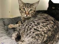 Mouse's story Mouse is a 5 month old tabby looking for