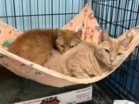 Hello...my name is Mousie, I am a 2 yr old male ginger
