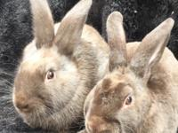 ***Please note. This is a bonded pair of bunnies and