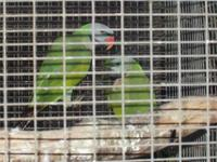 I have 2 pairs of Moustache Parakeets available. They