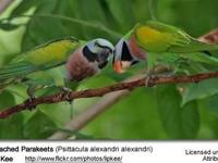 Moustached parakeets. Proven adults and weaned babies