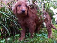 This is a magnificent litter of Irishdoodle young