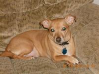 Howie, brown, neutered, male, 3 year old chihuahua mix