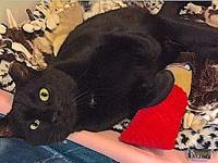 Mow's story Handsome, Sweet, Young FIV+ Bombay/DSH