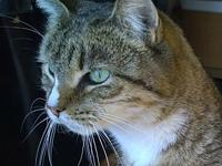 Mr. Allison's story Cat Name: Mr. Allison Breed: Tabby