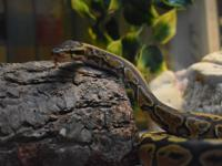 Mr. Sid is a young ball python who was rescued after