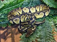 Mr? Snake is a ball python of unknown age who was