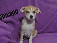 Mrs. Peabody Puppy - Chicago's story Hi!! My name is