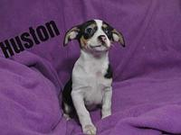 Mrs. Peabody Puppy - Houston's story Hi! My name is