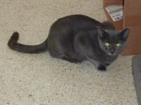 My name is Ms. Greys and I am a 2 yo DSH  Female Gray