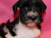 Beautiful MSCA Registered Merle Schnauzers. Both toy