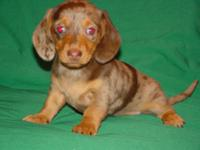She is a registered dachshund chocolate dapple smooth