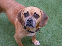 My story Meet Mugsy! This goofball puggle with the