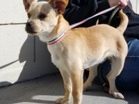 Mugsy 4 month old Chihuahua mix. Owner surrendered.