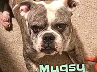 Mugsy's story Mugsy is a 2 year old, male, Olde English