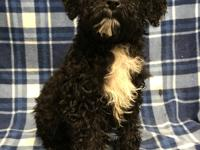 Adoption fee: $1200 Female Bouvier / Poodle mix Date of