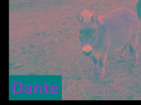 Mule - Dante - Small - Young - Male - Horse Dante is a