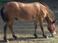 Mule - Dillon - Large - Adult - Male - Horse Dillion is