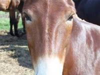 Mule - Lil Red - Medium - Young - Male - Horse Li Red