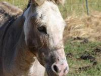 Mule - Mickey - Small - Adult - Male - Horse Mickey is