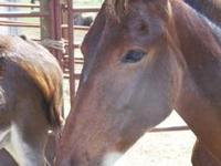 Mule - Shiloh - Large - Young - Male - Horse Shiloh is