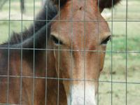 Mule - Mule - Medium - Adult - Female - Horse Take a