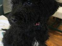 FB Multi Generation Labradoodle Girl Pup Parti-Factor