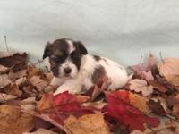 Shih-Tzu-Maltese mixed breed puppies for sale! 1