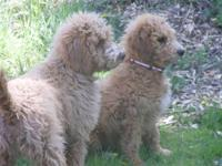 We are expecting a litter of multi-gen labradoodle
