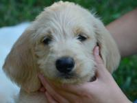 Labradoodle puppy born 6/15, 10 wks old. This cutie has