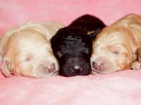 5 Multi-generation Labradoodle puppies!- Dad is a