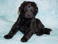 Multi-generation Labradoodle puppies. 2 available (1