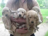 Multi generational Labradoodle puppies, whelped May 17,