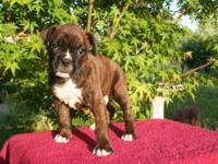 Pluto is a multi registered Boxer guy puppy. He is