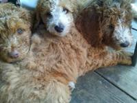 These little darling male, standard size (40-60 pounds)