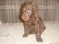 Description Beautiful Labradoodle Puppies born from my