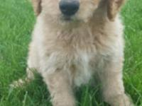 Multigenerational Labradoodles available June 6. These