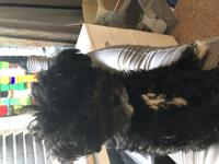 Smooch is a Maltipoo Female who is very loving, smart,