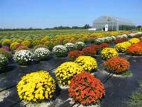 We are at it again this year,, Growing Hugh fall mums