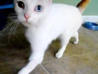 Munchkin - Almond - Medium - Adult - Female - Cat