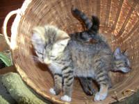 I have two female Munchkin/Bengal long leg kittens