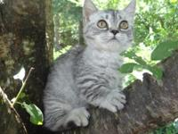 3 Month Old Blue Tabby Short Legged Munchkin Female.