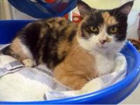 Munchkin - Kali 12187 - Small - Adult - Female - Cat
