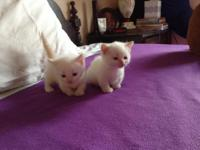I have two male Flame Point Munchkin kittens for sale.