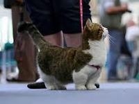 Are you looking for a little midget cat well I have two