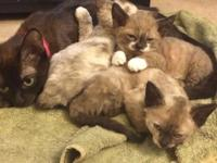 Three Devon Rex munchkin kittens ready for their new