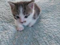 Munchkin male tabby kitten. Super low. Can leave mid