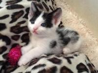 Munchkin-Manx kittens ready for deposit. Male black and